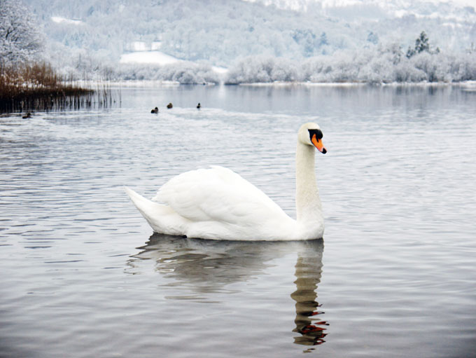 Snowy lake and swan in the English Lake District